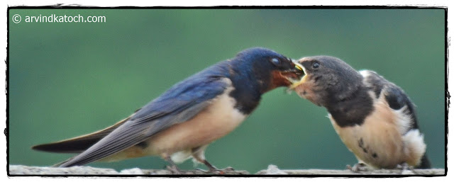 Barn Swallow, Bird Feeding,