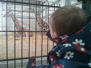 giraffe watching