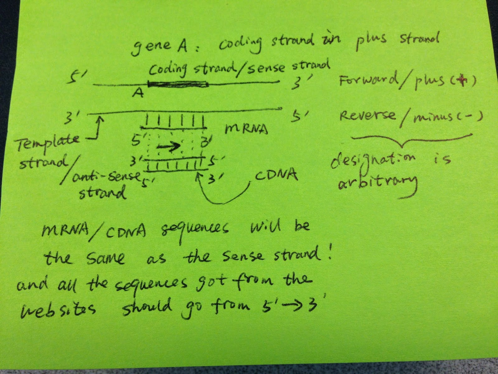 difference between template and coding strand - diving into genetics and genomics understanding the