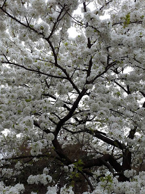 White Cherry Tree in the East Gardens of Imperial Palace Tokyo