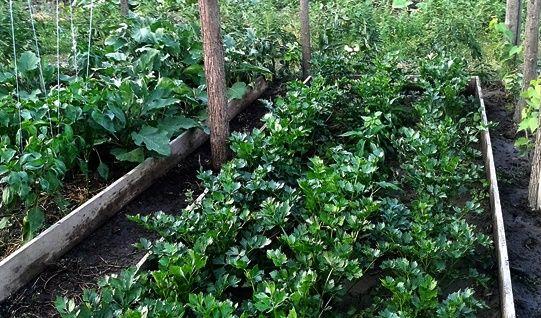 specii de plante legumicole grupate