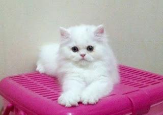 Pola hidup Kucing Persia