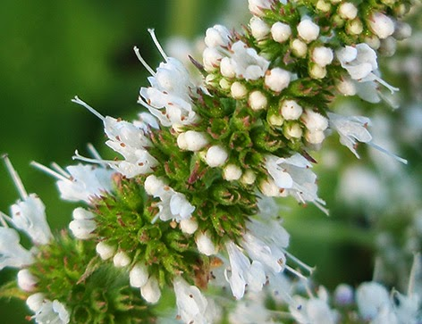 Mentastro (Mentha rotundifolia)de flor blanca