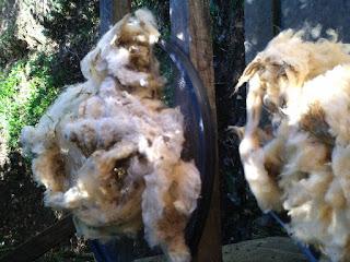 lã de ovelha tosquiada sendo separada