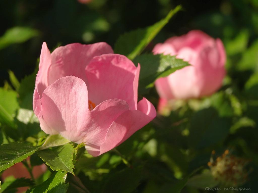 f63ee933472aea Róża dzika (Rosa canina L.) - pięciopłatkowe kwiaty, różowe lub białawe są  pojedyncze lub zebrane w kwiatostany. Kwitnie od maja do lipca, ...