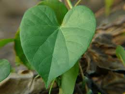 Giloy with leaves