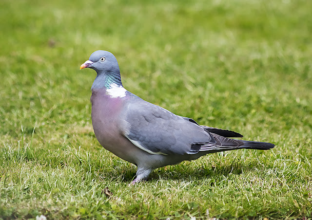 Wood Pigeon; Columba palumbus, on my back lawn in Crowborough.  15 June 2017.