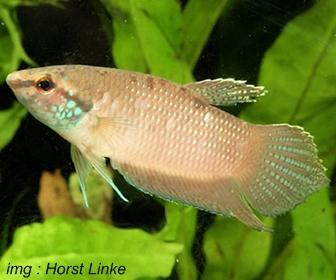 Jenis Ikan Cupang Spesies Betta Ferox