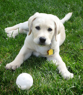 Cute Yellow Lab Puppy with White Ball On a Grass Photograph