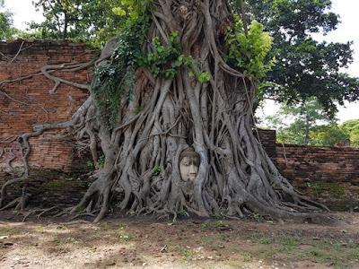 Cabeza de Buda en el árbol en Wat Phra Mahathat