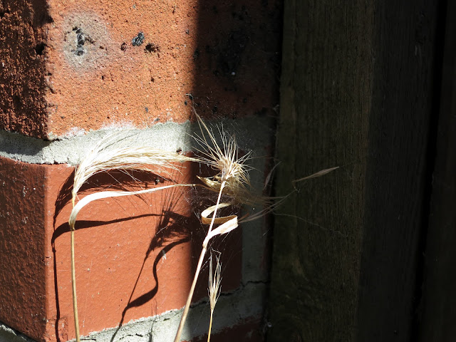 Dead, dry, grass stems from which seeds have dropped with their shadows against brick wall