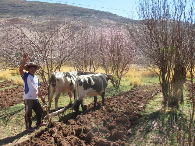 Mato pflügt und im Hintergrund blühen die Pfirsichbäume