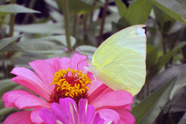 Emigrant Butterfly
