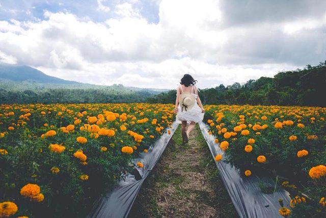 Ladang Bunga Calendula
