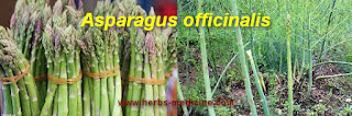 Herbal medicine use Asparagus