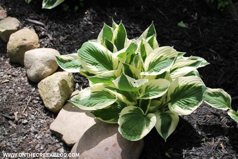Hosta plants with fresh black mulch around them!