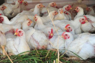 Daftar Harga Ayam Broiler Hari Ini