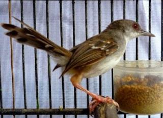 Burung Ciblek - Setelan Haraian atau Perawatan Harian Burung Ciblek - Penangkaran Burung Ciblek