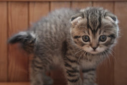 10 FloppyEared Facts About Scottish Fold Cats Mental Floss