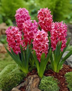 Цветок Елизаветы - гиацинт