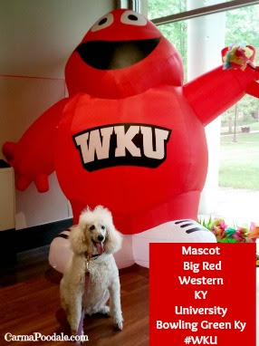 Poodle with WKU mascot