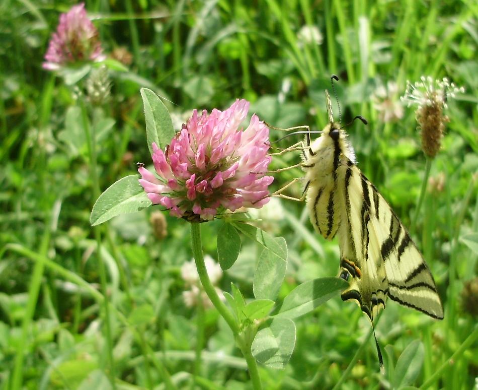 Bolboreta Iphiclides podalirius feisthamelii libando