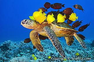 Selamatkan penyu laut yang terancam punah