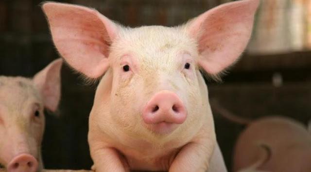 Hikmah dan Hukum, Mengapa Allah Menciptakan Babi dan Mengharamkannya Untuk Manusia,