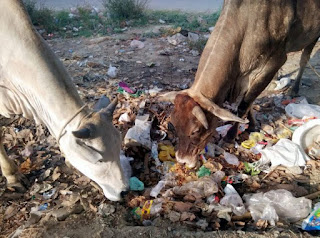 efforts-should-be-made-to-declare-cow-a-national-animal-judge