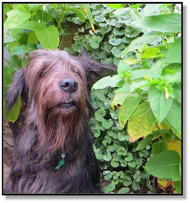 """Lotte vom Hundeblog """"Tierisches"""" Bergamasker Mischling"""