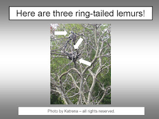 How Do Ring Tailed Lemurs Protect Themselves