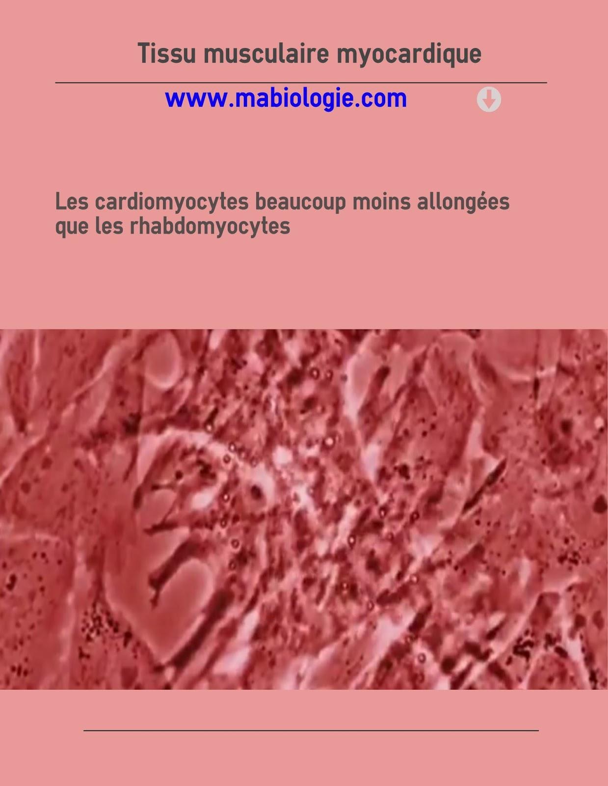 Définition Tissu musculaire myocardique