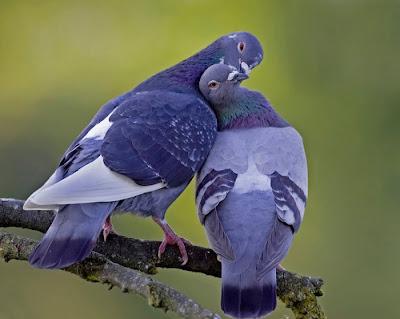 Resultado de imagen para palomas durmiendo