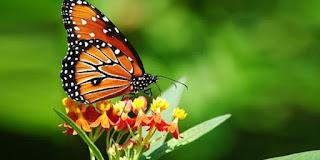 kelebeklerin ömrü 1 gün müdür?
