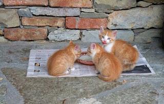 Cara Membuat Makanan Kucing Kampung