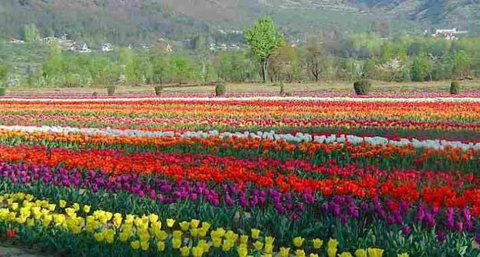 Filas de tulipanes