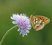 Bir misk çiçeği ve üzerine konmuş kelebek
