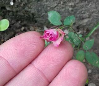 hạt giống hoa hồng xanh