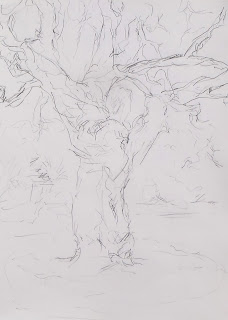 Hamiltons Cork Oak Jill Evans 2013 pencil on paper drawn at Painshill