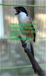 tips membuat cendet muda hutan cepat bunyi dan gacor