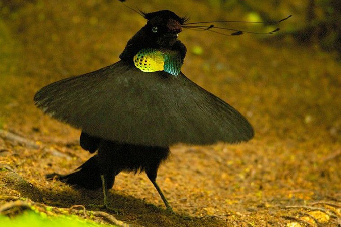 Penelitian Evolution of Correlated Complexity in the Radically Different Courtship Signals of Birds-of-paradise