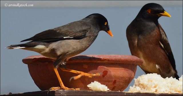 Common Myna, Jungle Myna, Myna,