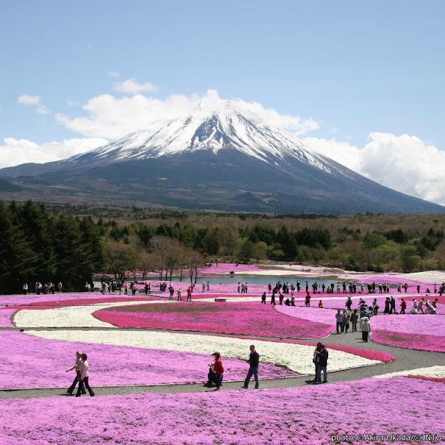 【富士芝櫻祭】絕景!舉頭望富士 低頭賞芝櫻