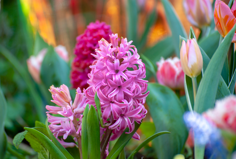 Flores de jacintos color rosa claro y rosa oscuro