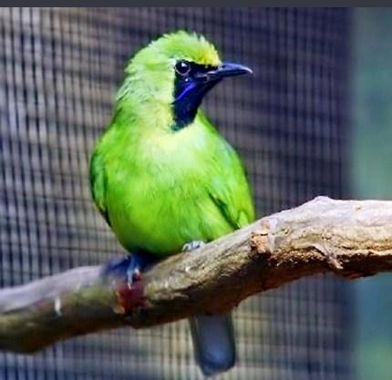 Burung Cucak Hijau Mini