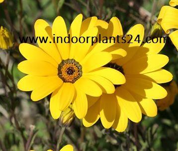 Dimorphotheca Sinuata indoor house plant photo