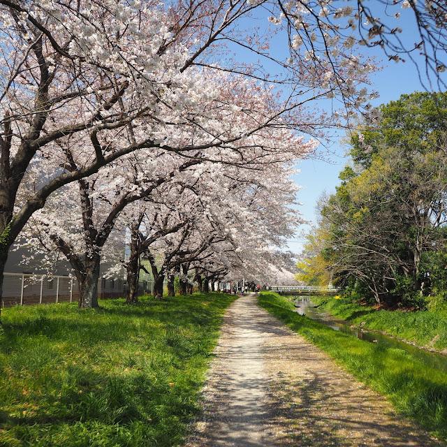 赤堀川 篠津の桜堤