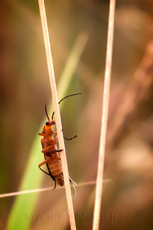 Close up wildlife photo of a soldier beetle at Ouse Fen Nature Reserve