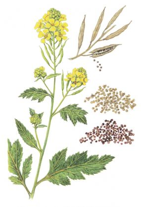AGRICULTURE AND AGRICULTURAL INFORMATION: ROLE OF MUSTARD ...
