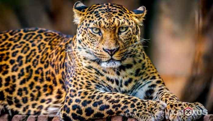 Gambar hewan karnivora atau hewan pemakan daging - Macan tutul